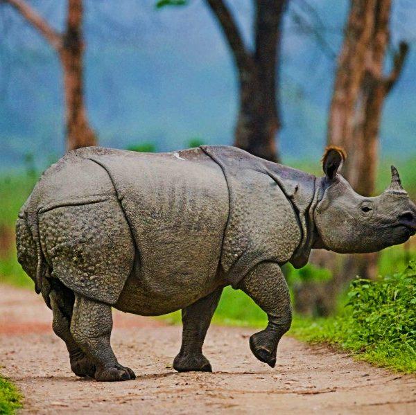 Kaziranga National Park Ein gehörntes Nashorn