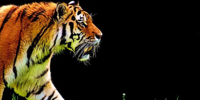 Royal Bengal Tigers