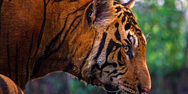 Tiger Tours India