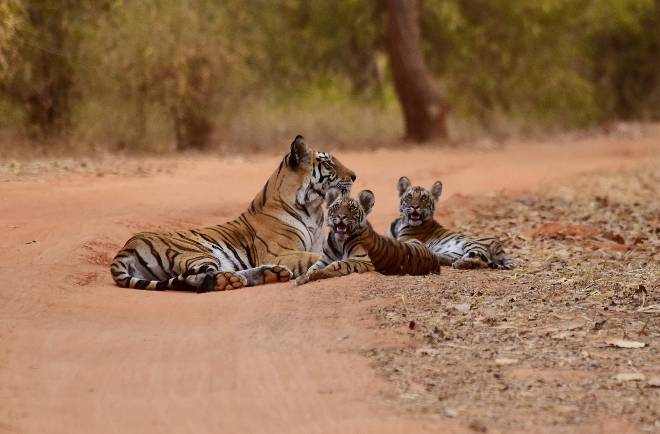 Kanha Nationalpark Indien